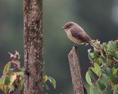 Dusky-brown Flycatcher (Wild Chroma) Tags: muscicapa adusta muscicapaadusta flycatcher ethiopia birds passerines