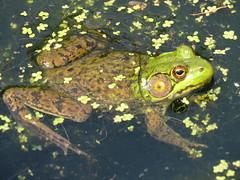 Duckweed Frog  IMG_3837 (PRS North Star) Tags: frogs amphibians ponds pondlife shaverscreekenvironmentalcenter