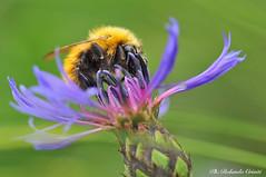 Bombo _006 (Rolando CRINITI) Tags: bombo insetti macro passodelfaiallo natura