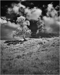 """Lone Tree Infrared (""""A.S.A."""") Tags: alston cumbria england britain northpennines countryside landscape infrared infrared830nm lonetree tree cloud sonya7rinfrared830nm sonyzeissvariotessarfe1635mmf4 wideangle blackwhite mono monochrome greyscale niksoftware silverefex asa2019"""