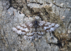 Mountain Moth (Treflyn) Tags: mountain moth hiding plain sight rock tryfan snowdonia north wales