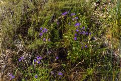 Purple Phacelia Wildflowers at the Gabrielino Trail Photo Hike to Sturtevant Falls (SCSQ4) Tags: altadena angelesnationalforest california chantryflat chantryflatrecreationarea gabrielinonationalrecreationtrail gabrielinotrail hike phacelia photohike purple trail wildflowers