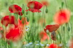 10062019-DSC_0134 (vidjanma) Tags: bokeh champ coquelicots fleurs marguerites