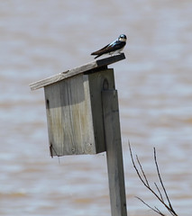 Tree Swallow (Wild Chroma) Tags: tachycineta bicolor tachycinetabicolor swallow birds passerines canada