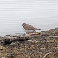 P5177640.jpg (Almyk) Tags: marstonmoretaine may littleringedplover plover