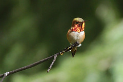 Full glory (jbinpg) Tags: rufoushummingbird selasphorusrufus adultmale gorgetcolourinfullsun princegeorge bc canada