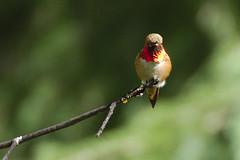 Rufous Hummingbird gorget colour (jbinpg) Tags: rufoushummingbird gorgetcolour male princegeorge bc canada