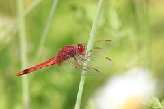 Dragon rouge (HimalAnda) Tags: crocothemiserythraea libelluleécarlate libellule dragonfly rouge red macro macrophotography macrophotographie tamron90mm eos70d canoneos70d vendée france stéphanebon insecte insect