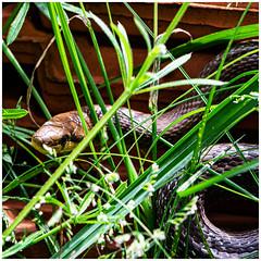 Äskulapnatter (robert.pechmann) Tags: äakolapnatter zamenis longissimus schlange natter robert pechmann natur snake