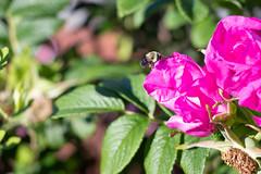 IMG_7236.jpg (Pete Andrusyszyn) Tags: bumblebee capecod 2019 westyarmouth ©peteraandrusyszyn