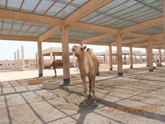 royal camel farm bahrain 513 2019 (2) (victory one) Tags: royal camel bahrain 巴林 阿拉伯半島