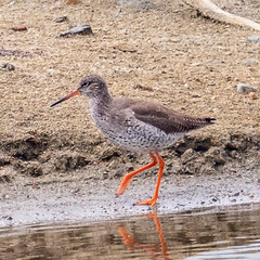 P5177738.jpg (Almyk) Tags: marstonmoretaine may redshank