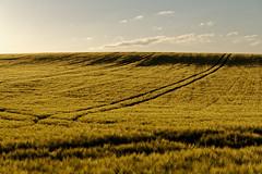 Juniabend (birk.noack) Tags: deutschlandthüringensommerjunigetreidegetreidefeldgersteabendabendlichtsonnenunterganggermanythuringiasummerjunecerealsgrainfieldbarleyeveningeveninglightsunset deutschland thüringen sommer juni getreide getreidefeld gerste abend abendlicht sonnenuntergang germany thuringia summer june cereals grainfield barley evening eveninglight sunset landscape landschaft natur