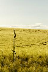 Juni (birk.noack) Tags: deutschlandthüringensommerjunigetreidegetreidefeldgersteabendabendlichtsonnenunterganggermanythuringiasummerjunecerealsgrainfieldbarleyeveningeveninglightsunset sunset summer barley june juni germany deutschland evening abend thüringen sonnenuntergang sommer thuringia cereals eveninglight abendlicht getreide gerste grainfield getreidefeld landscape natur landschaft