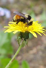 Tri-coloured Bumble Bee - Bombus ternarius (jbinpg) Tags: tricolouredbumblebee bombusternarius female ondandelion princegeorge bc canada
