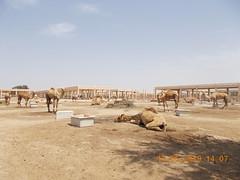 royal camel farm bahrain 513 2019 (6)aaa (victory one) Tags: royal camel bahrain 巴林 阿拉伯半島