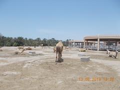 royal camel farm bahrain 513 2019 (5) (victory one) Tags: royal camel bahrain 巴林 阿拉伯半島