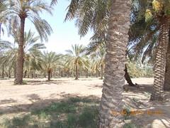 royal camel farm bahrain 513 2019 (4)aaa (victory one) Tags: royal camel bahrain 巴林 阿拉伯半島