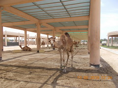 royal camel farm bahrain 513 2019 (4) (victory one) Tags: royal camel bahrain 巴林 阿拉伯半島