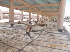 royal camel farm bahrain 513 2019 (3) (victory one) Tags: royal camel bahrain 巴林 阿拉伯半島