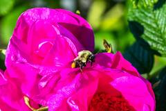 IMG_7238.jpg (Pete Andrusyszyn) Tags: bumblebee capecod 2019 westyarmouth ©peteraandrusyszyn