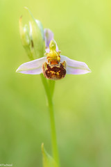during very hot days (Tschissl) Tags: ophrys niederösterreich orchideen lindabrunn orchids