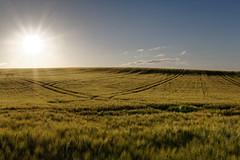 Sommerabend (birk.noack) Tags: deutschlandthüringensommerjunigetreidegetreidefeldgersteabendabendlichtsonnenunterganggermanythuringiasummerjunecerealsgrainfieldbarleyeveningeveninglightsunset deutschland thüringen sommer juni getreide getreidefeld gerste abend abendlicht sonnenuntergang germany thuringia summer june cereals grainfield barley evening eveninglight sunset landscape landschaft