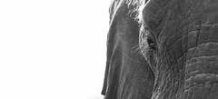 Close up (Sheldrickfalls) Tags: elephant elephantbull olifant loxodantaafricana skukuza skukuzacamp krugernationalpark kruger krugerpark mpumalanga southafrica