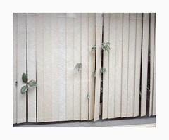 Cologne, 2019 (Darius Urbanek) Tags: 120 6x7 kodak mamiya7 portra400 analog color film mediumformat köln cologne window plants