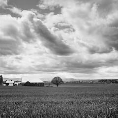 Spring in Oregon Farm Country (Aaron Bieleck) Tags: hasselblad500cm 120film analog 6x6 square film filmisnotdead hasselblad mediumformat wlvf farm oregon bw filmgrain clouds pnw pacificnorthwest 60mmct blackandwhite field