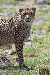Standing and posing (Tambako the Jaguar) Tags: cheetah big wild cat posting standing portrait face looking grass sunny vegetation savanna lionsafaripark johannesburg southafrica nikon d5