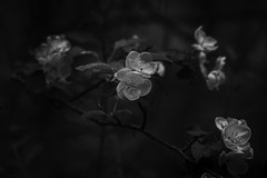 Flowering Tree (jessicalowell20) Tags: black blackandwhite branches depthoffield detail floweringtree flowers gray maine moody newengland pittston spring tree white