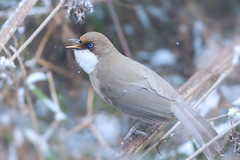 singing in the snow (Rajiv Lather) Tags: whitethroatedlaughingthrush garrulaxalbogularis singing snow cold himalayas mountains birds birding india