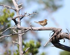 Pipit (Wild Chroma) Tags: tyresta sweden birds pipit passerines