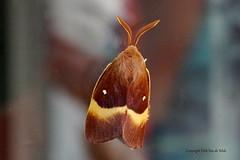 Moth (DirkVandeVelde ( very busy)) Tags: europa europ europe belgie belgium belgica belgique buiten biologie antwerpen anvers antwerp animalia animal mechelen malinas malines macro insekt insects insect insekten nachtvlinder papillon moth mot