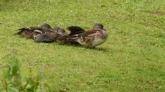 Mandarin Ducks (rq uk) Tags: rquk nikon d750 nikond750 afsnikkor70200mmf28efledvr afsteleconvertertc14eiii dintonpastures female juvenile mandarinduck