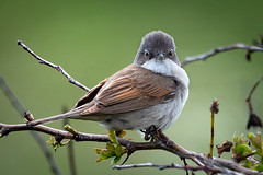 Whitethroat (Malcolm_Graham) Tags: bemptoncliffs rspb nikond750 nikon500mmf4 passerines warblers whitethroat