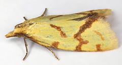Agapeta hamana, Lixwm, North Wales, June 2019 (janetgraham84new) Tags: tortricidae hamana agapeta