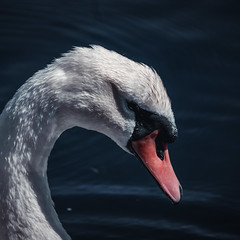 Swan (Connormagill96) Tags: swan sony alpha a6300 blue cold water animal wildlife