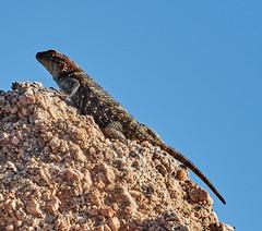 06112019000005030 (Lake Worth) Tags: bird birds nature reptile reptiles rabbit
