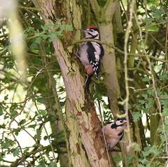 Juvenile and Female Great Spotted Woodpeckers (rq uk) Tags: rquk nikon d750 dintonpastures nikond750 afsnikkor70200mmf28efledvr afsteleconvertertc14eiii bitternhide greatspottedwoodpecker juvenile female