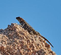 06112019000005029 (Lake Worth) Tags: bird birds nature reptile reptiles rabbit