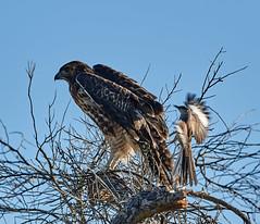 06112019000005055 (Lake Worth) Tags: bird birds nature reptile reptiles rabbit