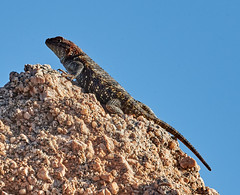 06112019000005031 (Lake Worth) Tags: bird birds nature reptile reptiles rabbit