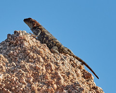 06112019000005032 (Lake Worth) Tags: bird birds nature reptile reptiles rabbit
