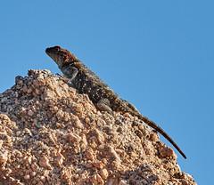 06112019000005028 (Lake Worth) Tags: bird birds nature reptile reptiles rabbit