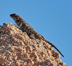 06112019000005027 (Lake Worth) Tags: bird birds nature reptile reptiles rabbit