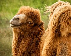 Camel (Greg Miller 1) Tags: camel