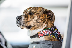 Dubs and Rods meeting ... (Technical_one) Tags: dog starwars driver staff staffie alterative 200mm f2 staffordshire bull terrier