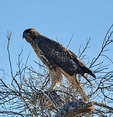 06112019000005056 (Lake Worth) Tags: bird birds nature reptile reptiles rabbit